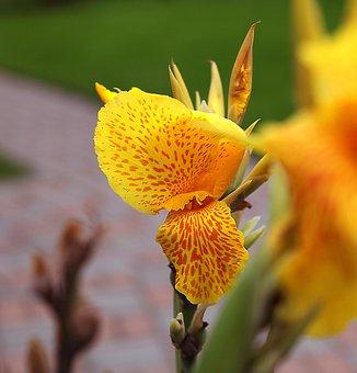 Kanna, Kanna Yellow, Tiger, Flowers Yellow, Flowering