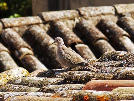 Turtledove, Roof, Texas