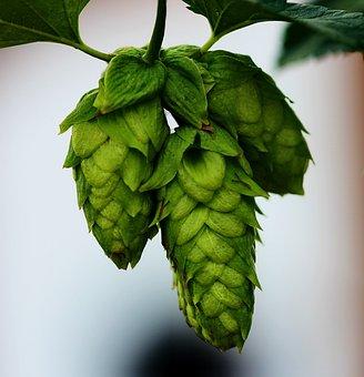 Hops, Buds, Beer, Plant, Leaf, Green, Vine, Summer