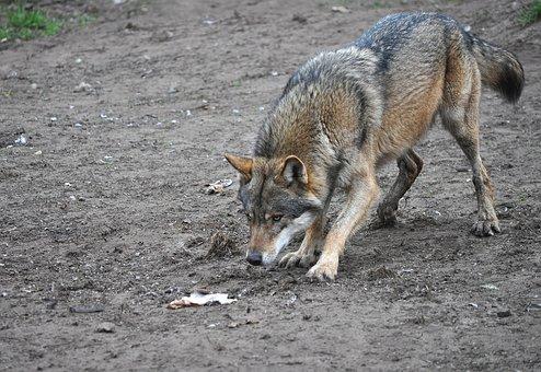 Wolf, Eurasian Wolf, Animal, Predator, Prey, Feeding