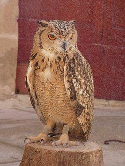 Owl, Eagle, Bird, Prey, Wildlife, Hunter, Falconry