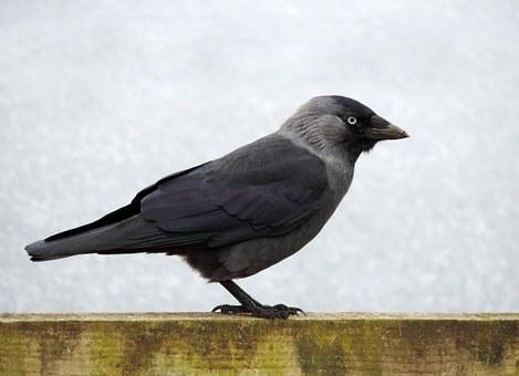 Bird, Jackdaw, Black, Wildlife, Animal, Wild, Nature