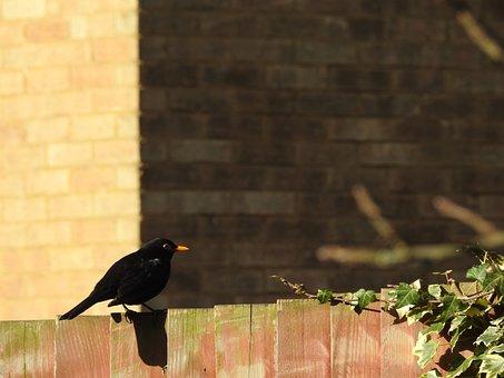 Blackbirds, Spring, Bird, Nature, Thrush