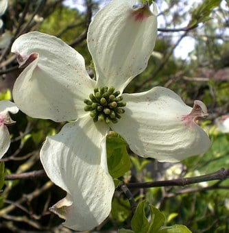 Dogwood Flower, Blossom, Bloom, Cornus, Dogwood