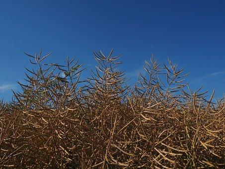Oilseed Rape, Field Of Rapeseeds, Brassica Napus, Reps