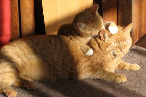 Two Ginger Cats, Licking, Loving, Tabby, Brothers