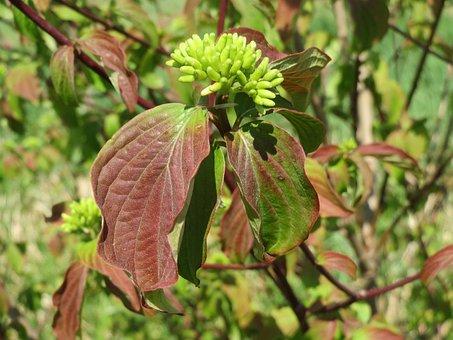 Cornus Sanguinea, Common Dogwood, Flora, Shrub