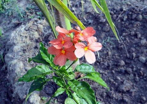 Flower, Crossandra Infundibuliformis