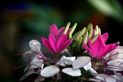 Flower, Drunk Butterfly Flower, Canton