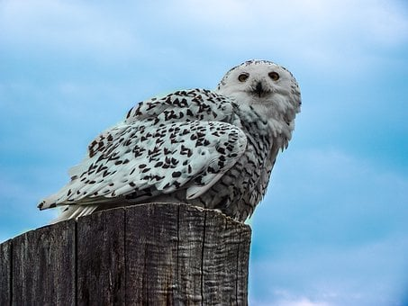 Eagle Owl, Owl, Bird, Animal