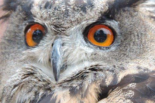Eagle Owl, Bird, Eurasian Eagle European Owl, Nocturnal