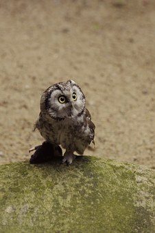 Eurasian Pygmy Owl, Bird, Tallinn Zoo