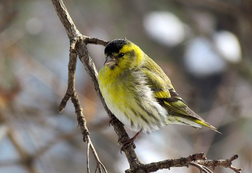 Bird, Eurasian Siskin, Male, Small, Yellow Feathers