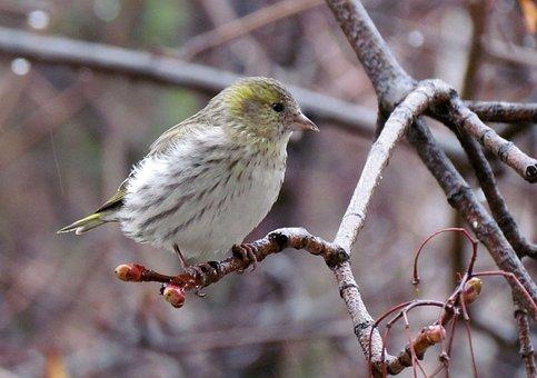 Nature, Birds, Eurasian Siskin, Female, Spring