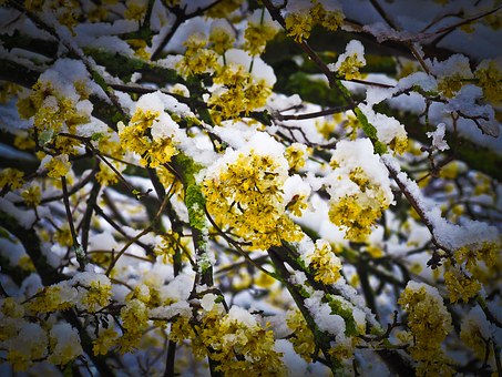 Snow, Flower, Winter, Blossom, Bloom, Nature, Frost