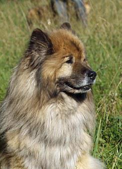 Eurasians, Portrait, Friendly, Dog Look, Close Up