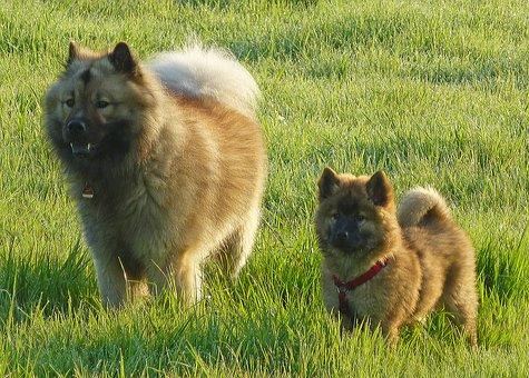 Dogs, Eurasians, Friends, Meadow, Play