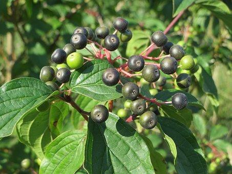 Cornus Sanguinea, Common Dogwood, Flora, Fruit, Berries