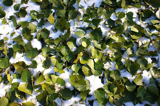 The First Snow, Defoliation, Green Leaf