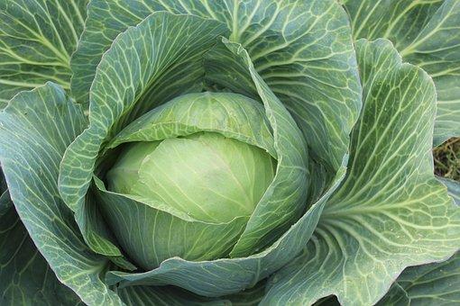 White Cabbage, Brassica Oleracea, Kappes, Kaps, Kappus