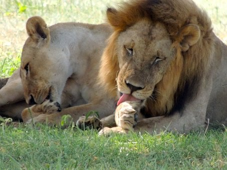 Lions, Male, Female, Lion Licking Paws, African Lion