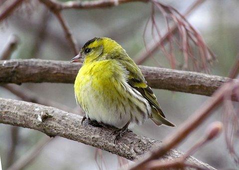 Nature, Birds, Eurasian Siskin, Men's, Spring