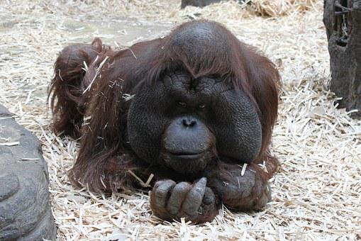 Orangutan, Monkey, Moscow Zoo