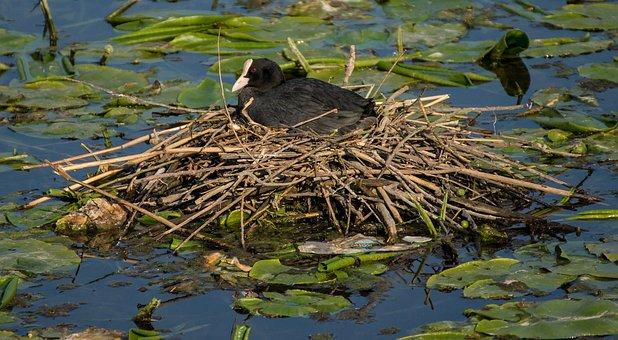 Eurasian Coot, Bird, Fowl, Nest, Pond, Lake, Water