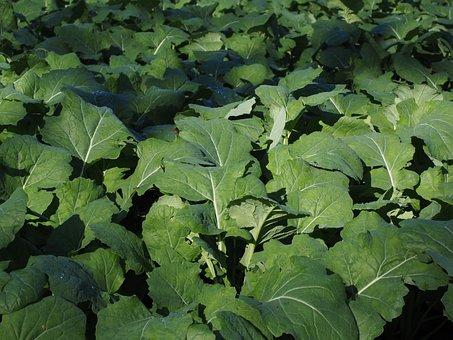 Oilseed Rape, Leaves, Green, Winter Oilseed Rape