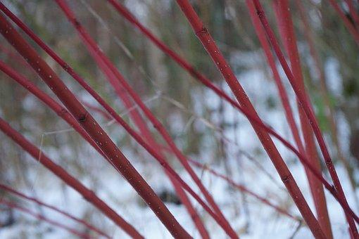 Red Dogwood, Bush, Cornus Sanguinea, Plant, Stalk, Red