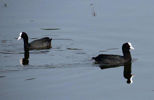 Eurasian Coot, Fulica Atra, Coot, Bird, Rallidae