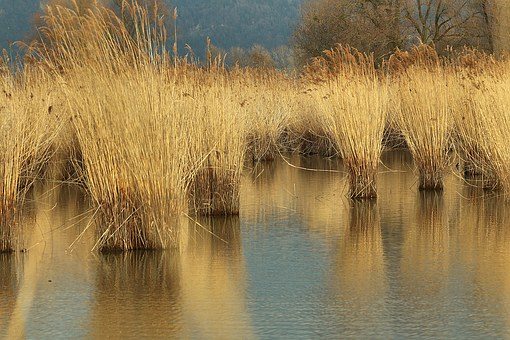 Reed, Lake Constance, Arm Of The Rhine, Austria, Water