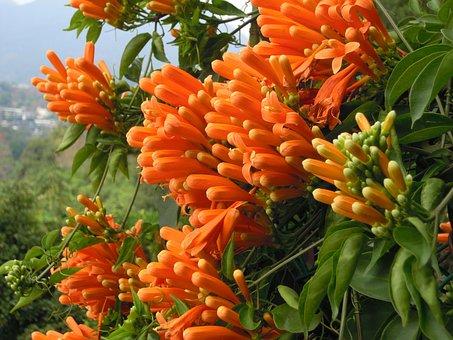 Firecracker Flower, Sea Of Flowers, Golden Coral