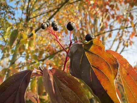 Cornus Sanguinea, Common Dogwood, Shrub, Bush, Flora
