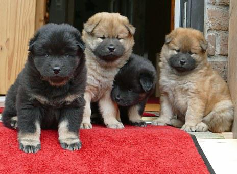 Young Dogs, Eurasians, Cute, Curious, Sweet