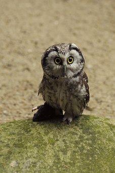 Owl, Eurasian Pygmy Owl, Bird, Tallinn Zoo