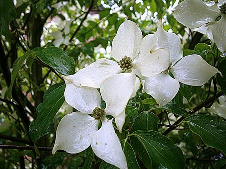 Dogwood, Asian Dogwood Blossoms, Bush, Tree
