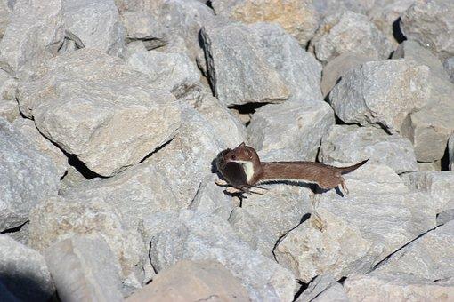 Ontario Weasel, Wild, Mammal, Mustelidae, Rocks, Vole