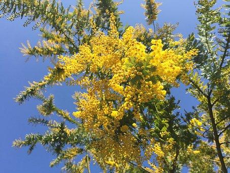 Acacia, Mimosa Acacia, Spring Flowers, Yellow Flowers