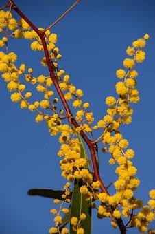 Acacia, Wattle, Flowers, Yellow, Australian Native