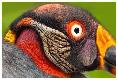 King Vulture, Bird, Bird Of Prey, Colorful, Raptor
