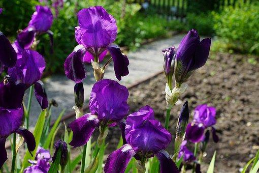 Iris, Flower, Blossom, Bloom, Blue, Nature, Dark Purple