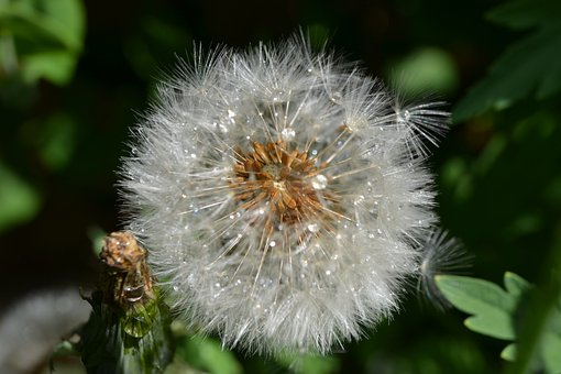 Dandelion, Seed, Head, Green, Close-up, Detail, Blow