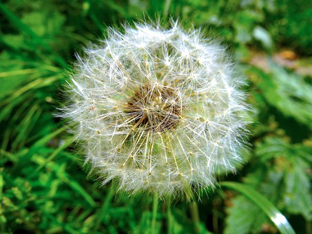 Dandelion, Green, Nature, Plant, Close