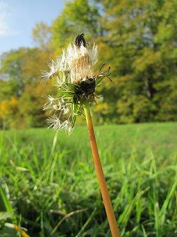 Taraxacum Sect Ruderalia, Dandelion, Wildflower, Botany