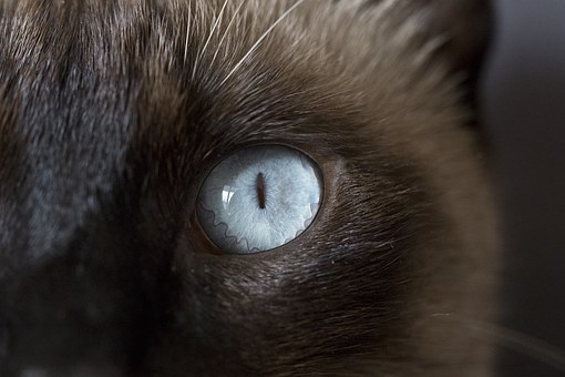 Cat, Eyes, œil, Look, Iris, Blue, Macro, View, Cat Eyes