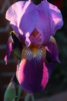 Flower, Iris, Purple, Nature, Floral, Spring, Plant