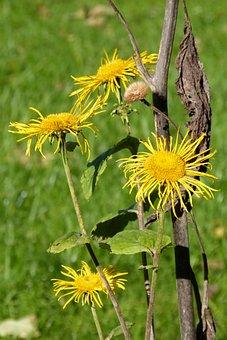 Inula, Blossom, Bloom, Composites, Seeds Was, Flower