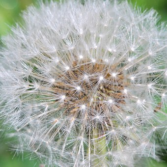 Dandelion, Seeds, Plant, Fluffy, Weed, Head