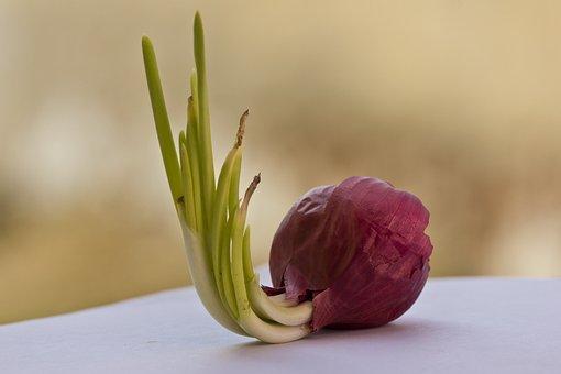 Onion, Red Onion, Bulb, Vegetable, Healthy, Fresh